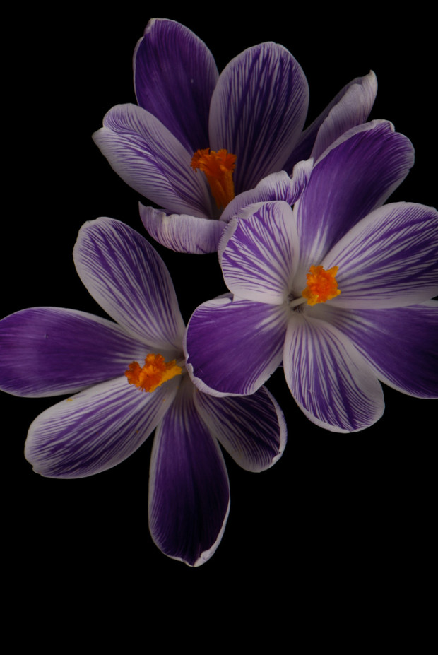 purple crocus par geishaboy500